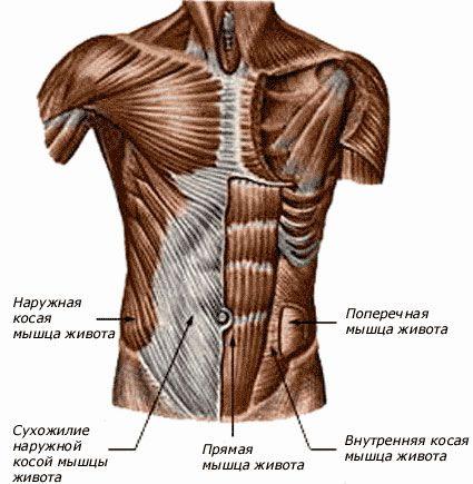 мышцы туловища, рук и плечевого пояса