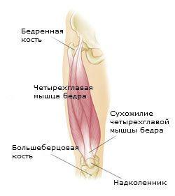 Группы мышц бедер