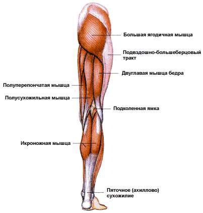 Мышцы пояса нижних конечностей